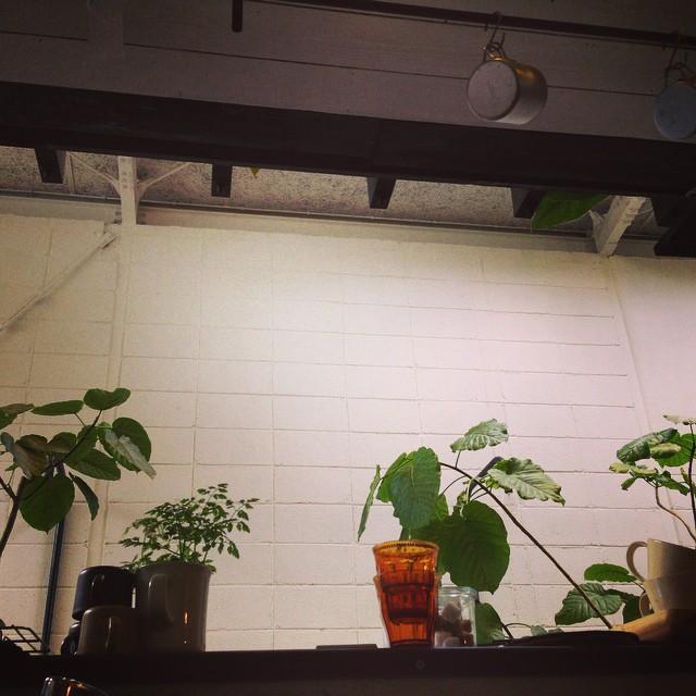 店主のフィカスウンベラータ。真ん中の席は大きな葉っぱの下でおくつろぎ下さい。 本日22日と明日23日はお休みを頂きます。#フィカスウンベラータ